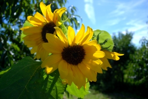 20100923110422_sunflowers_nh