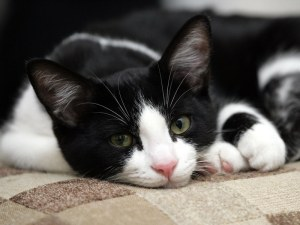 Black-white-cat-cats-1889901-800-600