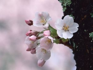 Japanese_Cherry_Blossom_wallpapers_GA032