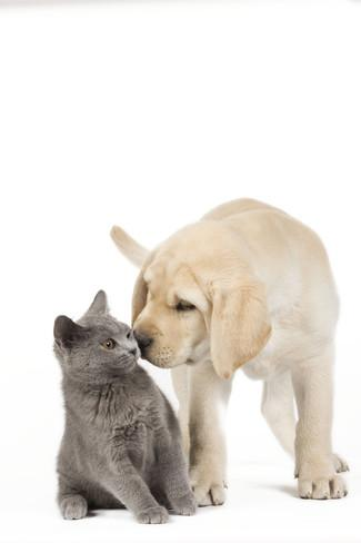 dog-and-cat-yellow-labrador-puppy-with-chartreux-kitten