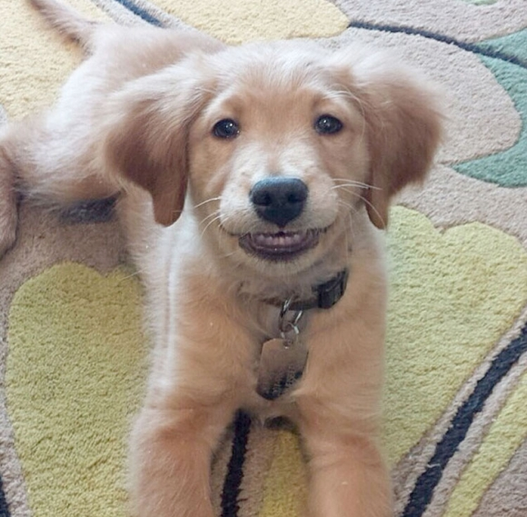 golden-lab-puppy-smiling-funny-animal-dog-pictures-pics