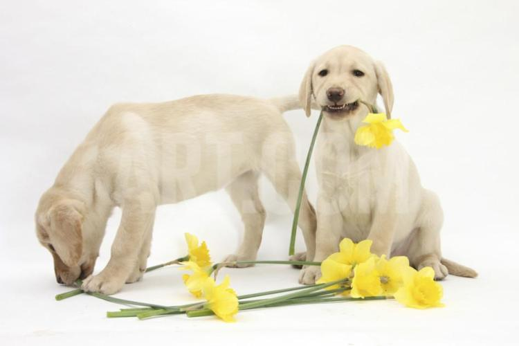 mark-taylor-yellow-labrador-retriever-bitch-puppies-10-weeks-lying-with-yellow-daffodils_a-g-10575753-14258384