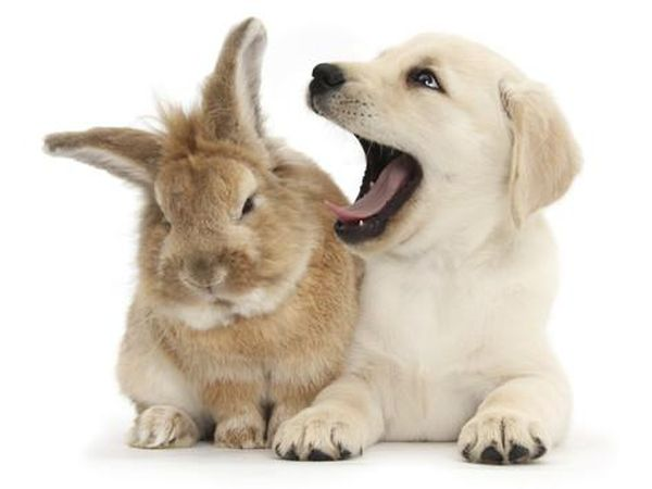 mark-taylor-yellow-labrador-retriever-puppy-8-weeks-yawning-in-lionhead-cross-rabbit-s-ear