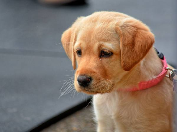 yellow-lab-puppy-600x449